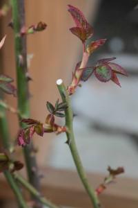Bob Jenkins, Pruned Rose (Flickr)